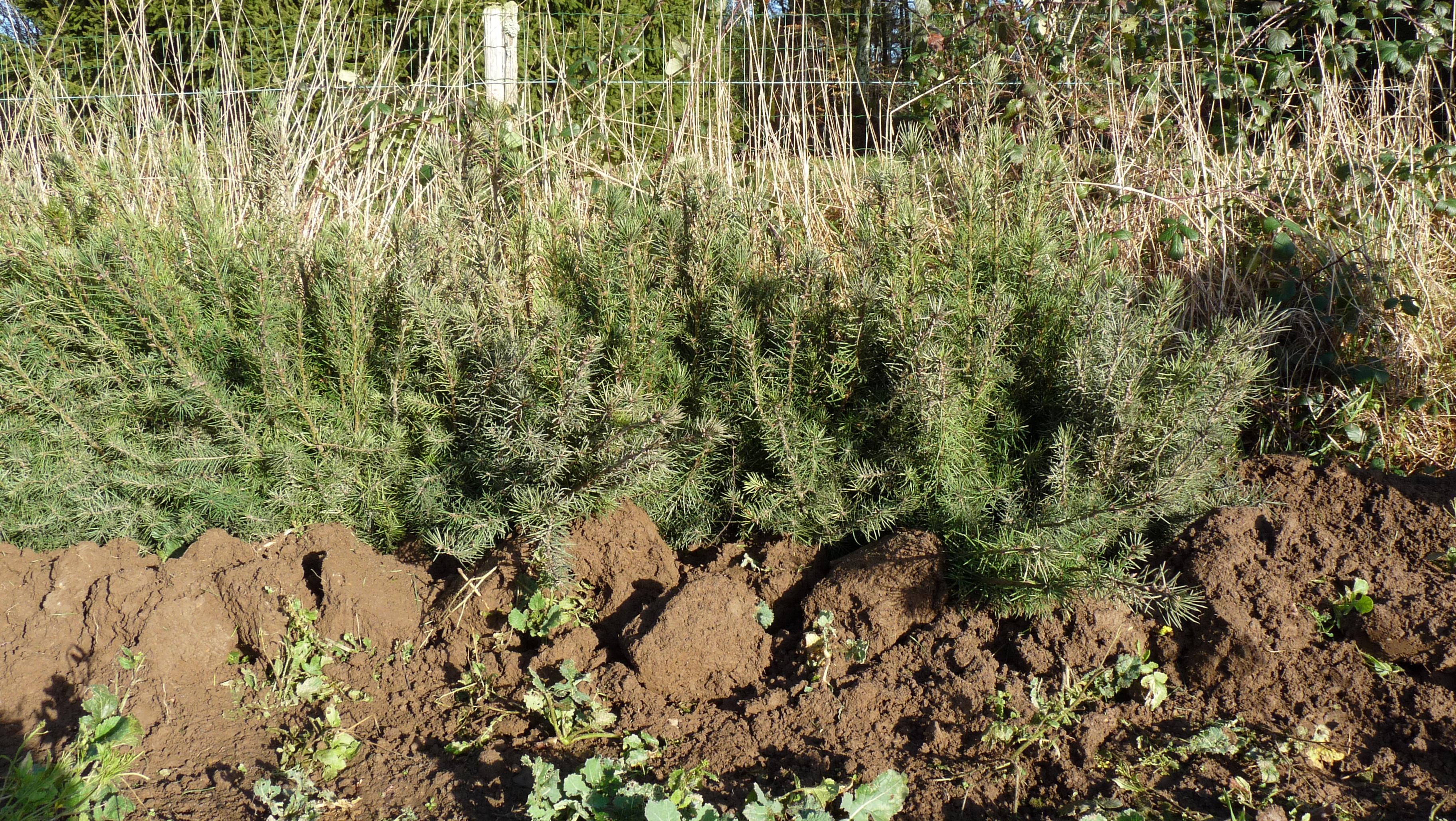 Photographie de plants de douglas en jauge pour une plantation prise ...